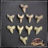 Haifischzähne 5x mittel, Fossil, geschäumtes Prop/Requisit