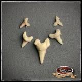 Haifischzähne 5x verschiedene, Fossil, geschäumtes Prop/Requisit